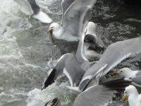 Bu balıkları avlamak martılara serbest