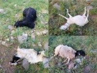Hakkari'de kurtlar sürüye saldırdı: 21 telef, 35 kayıp