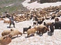 Koyunların 3 bin rakımda kar keyfi
