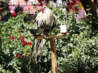 Horoz kendini 'papağan' sanıyor