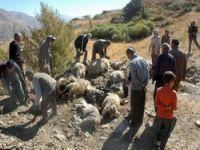 Aç kurtlar saldırdı: 51 koyun telef oldu!