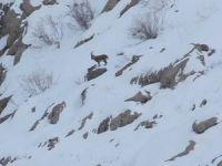 Kepenkler açılmayınca dağ keçisi izlemeye gittiler