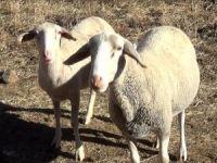 Fransız koyunlar Hakkari dağlarında görüntülendi