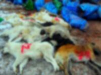 Hakkari'de esraregiz köpek ölümleri!