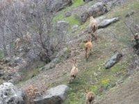 İkiyaka dağlarında dağ keçileri görüntülendi