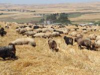 Kulak küpesiz 298  adet hayvana el konuldu!