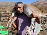 Dağ keçisini kilometrelerce sırtında taşıdı!