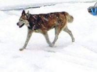 Yukarı Merzan'da yolda ilerleyen kurt görüntülendi!