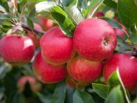 Günde 1 tane elma yemenin cinselliğe etkisi