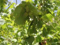 Başkale'de fındık ağaçlarından ürün aldı
