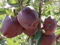 Türkiye'nin elma diyarında hasat başladı