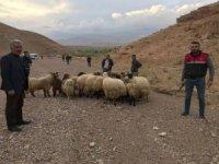 Jandarma'dan hayvan hırsızlarına operasyon