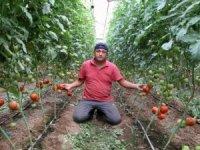 Milyonlarca ton domateste hasat başladı