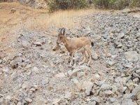 Köyde ayrılmayan yavru dağı keçisi!