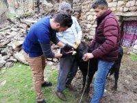 Çukurca'da hayvan küpeleme çalışması yapıldı