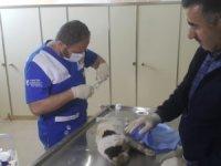 Hakkari'de hasta kediler tedavi altına alındı
