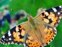 'Vanessa' kelebeği zararsız