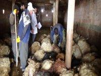 Kurtlar ağıla girdi 79 koyunu telef etti