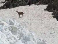 Kar çalışmasında dağ keçisi görüntülendi