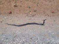 Şemdinli'de yılanların dansı görüntülendi