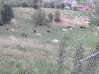 Merzan'da başıboş hayvan sürüsüne tepki