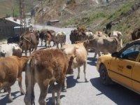 Hakkari belediyesinden inek sahiplerine uyarı!