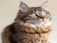 Kayıp kedi Mina'yı bulana para ödülü..