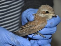 Kızıl sırtlı örümcek kuşu tedavi altına alındı