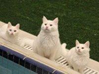 Van kedileri göz kamaştırıyor