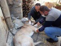 Yaralı Sivas kangal köpeği tedavi altına alındı