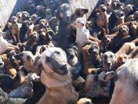 Bir kamyonda 70 köpek bulundu