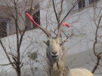Kavga eden keçilerin boynuzuna hortum taktı
