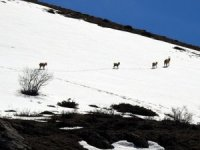 Yaban keçisi avlayanlara rekor ceza