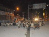 Kentin en işlek caddesinden koyun sürüsü geçti