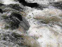 İnci kefali balığını göçü devam ediyor