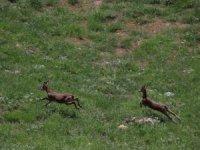 Dağ keçileri Durankaya beldesine indi