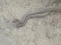 Yüksekova'da 2 metre boyundaki yılanların dansı