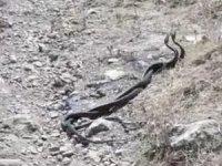 Çukurca'da yılanların dansı