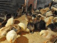 Kuluçka makinesiyle ayda 324 civciv üretiyor
