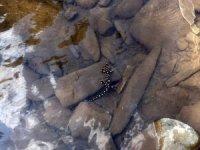 Benekli Anadolu semenderi görüntülendi