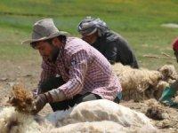 Hakkari yaylalarında koyun kırkma telaşı başladı