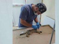 Boğazına kemik saplanan kedi kurtarıldı