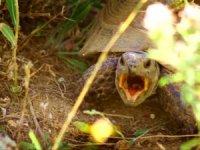 Kaplumbağanın esneme anları görüntülendi