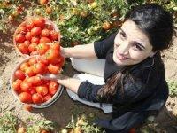 Bitlis domatesten 230 milyon TL gelir bekleniyor!