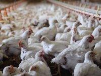 Çiftlikte tavuklar birbirlerini yemeye başladı