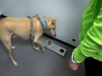 Covid-19 için eğitimli köpekler kullanılacak