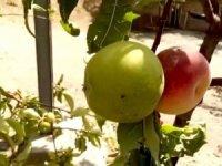 Şeftali ile elma aynı ağaçta yetişti