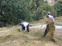 Çukurca'da çeltik hasadı başladı