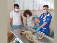 Zehirlenen Tilki tedavi altına alındı
