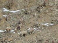 Dağ keçileri sınır bölgesinde görüntülendi